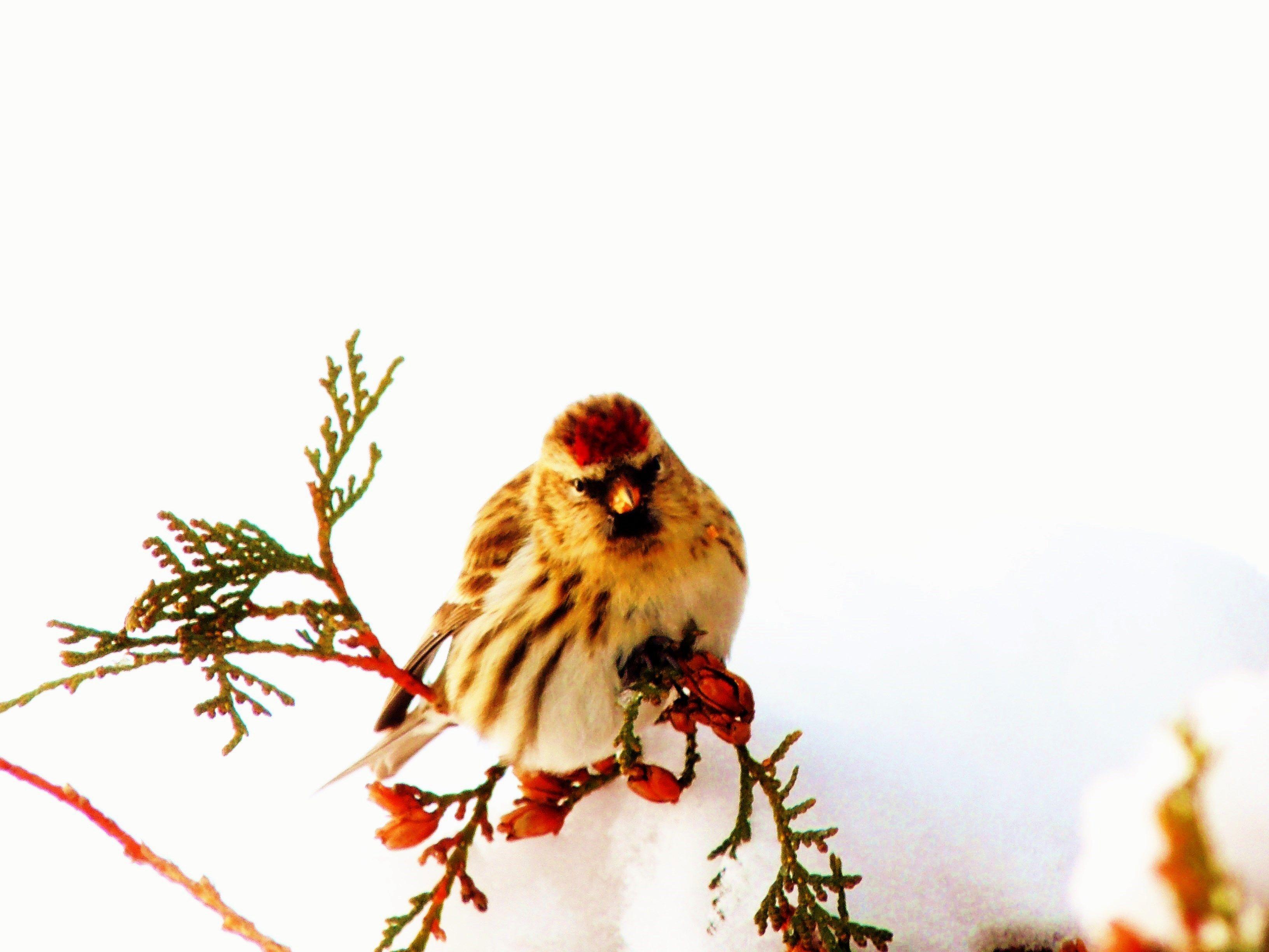 Common Redpoll | Backyard birds, Birds, Animals