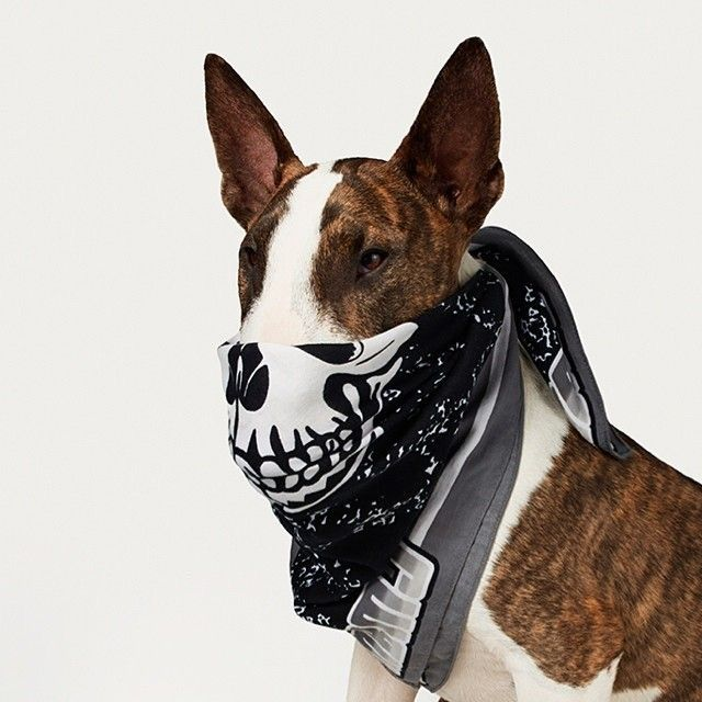 Give Me Your Treats, No One Gets Hurt ~ Masked Bull Terrier