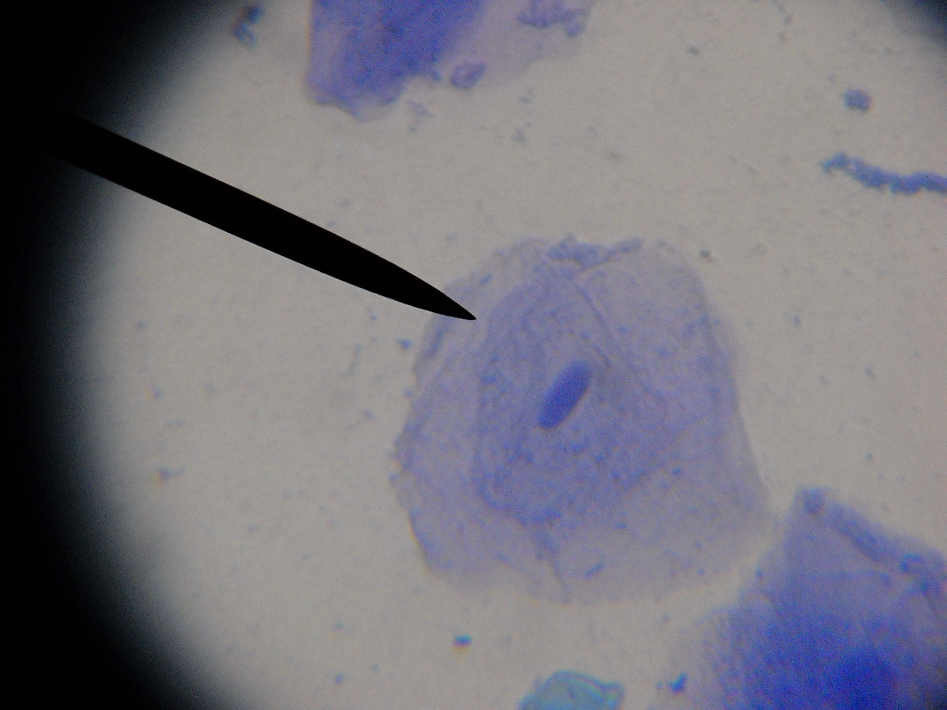 Human cheek cell microscope cell pics pinterest human cheek cell pooptronica Choice Image