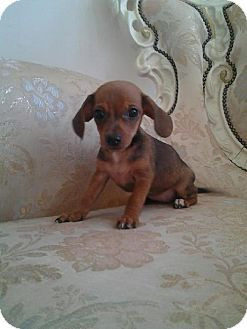 Edgewater Nj Dachshund Chihuahua Mix Meet Dolly A Puppy For