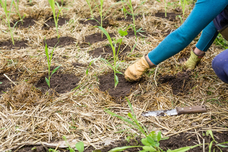 Milpa Beet Mischkultur Aus Bohnen Mais Und Kurbis Pflanzanleitung Mischkultur Bohnen Pflanzen