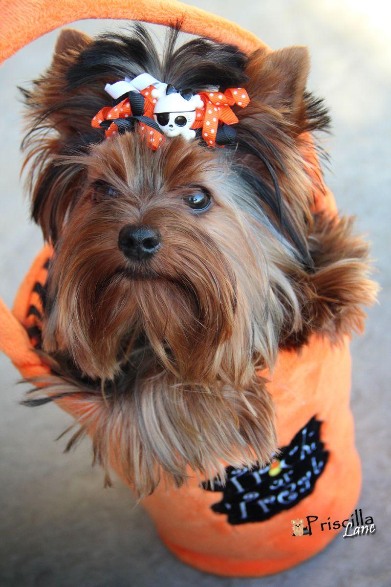 Priscilla Eekcited For Her First Halloween Yorkie Yorkie Puppy Yorkie Dogs