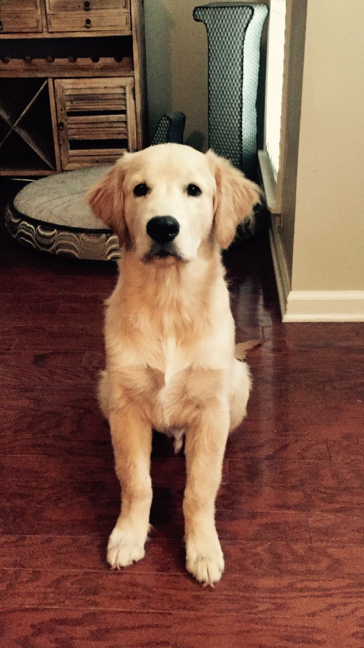 Tex Our 5 Month Old Golden Retriever