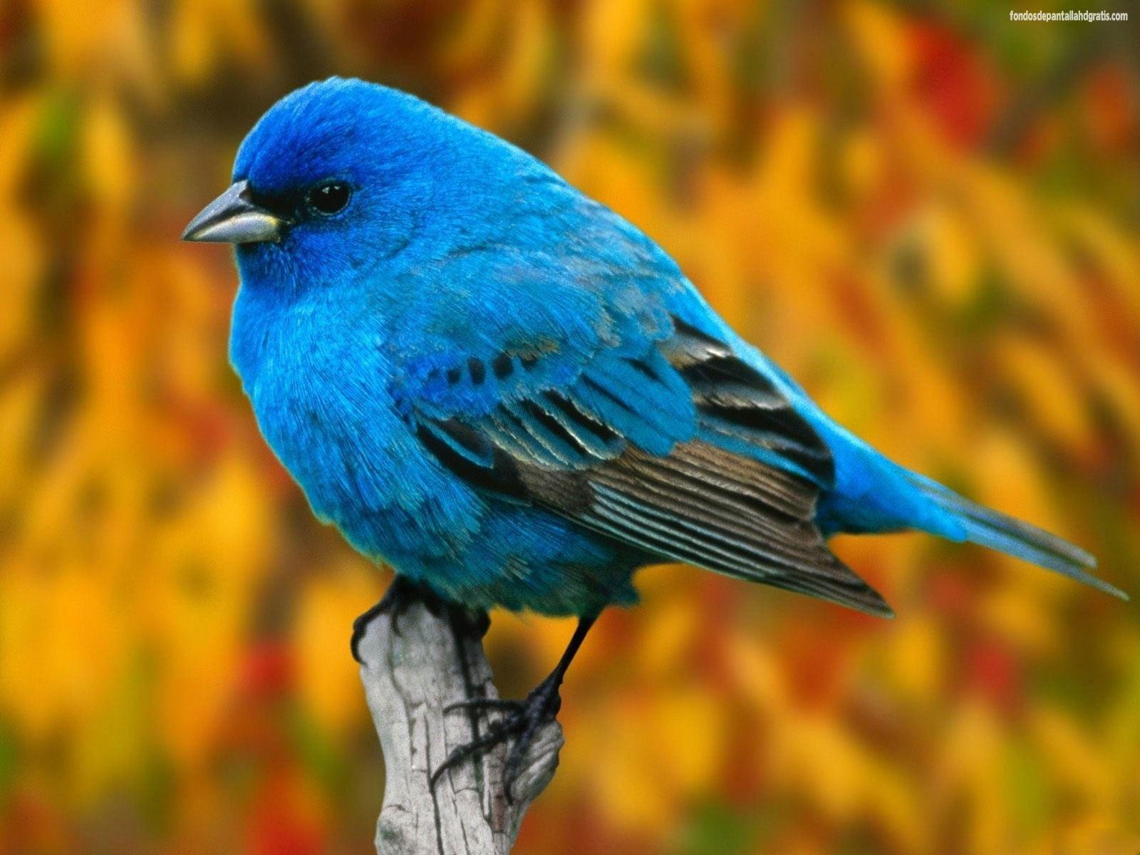 Pajaro azul | birds | Pinterest | Pájaros azules, Pájaro y Azul