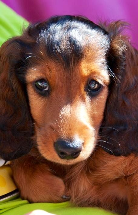 That Has To Be The Sweetest Face Imaginable Doxie Love