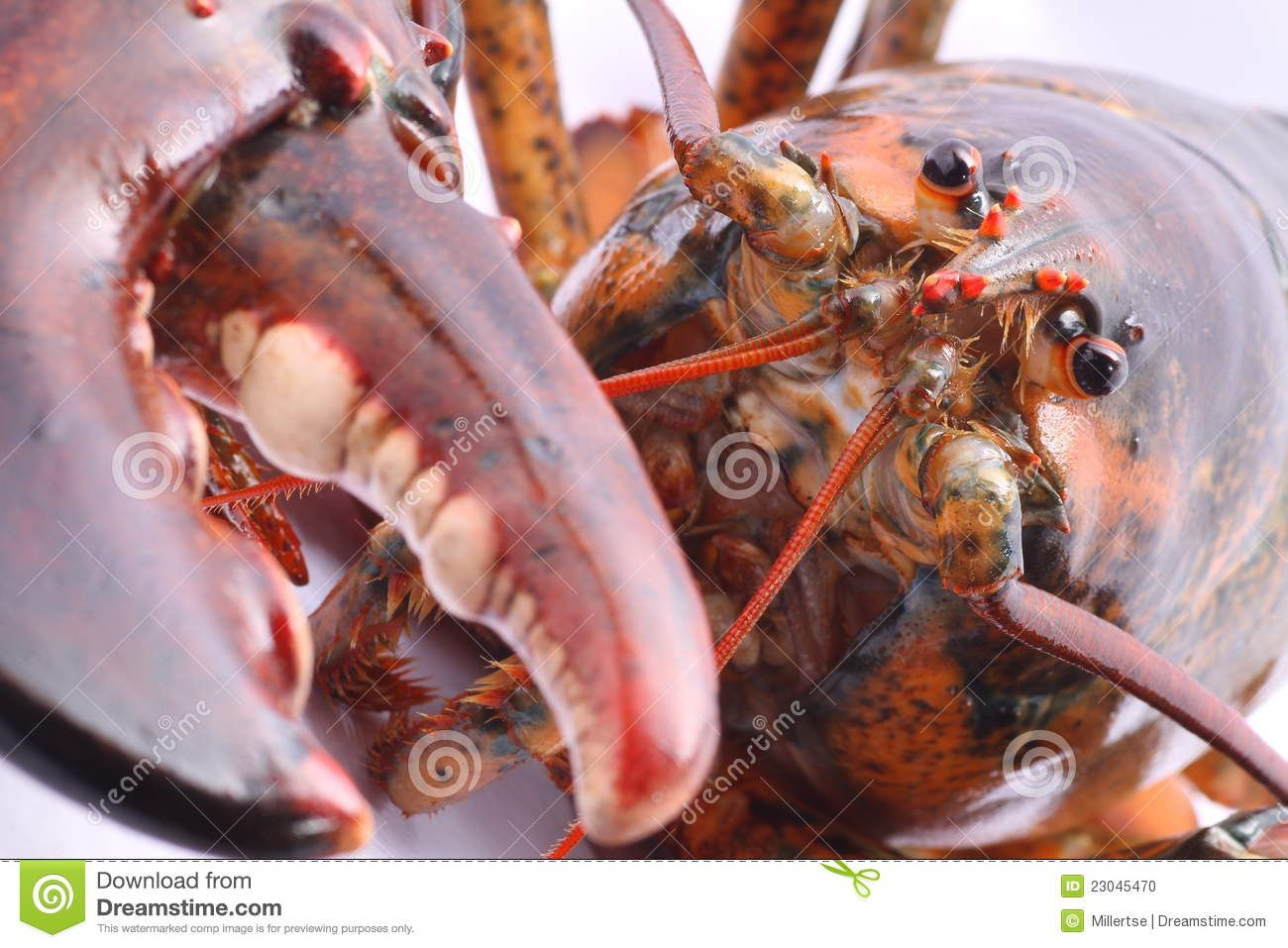 lobster head close up | close up on the head of a jumbo living American lobster with claws.