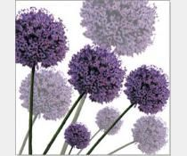 Allium Fernandez Greeting Card £2.40