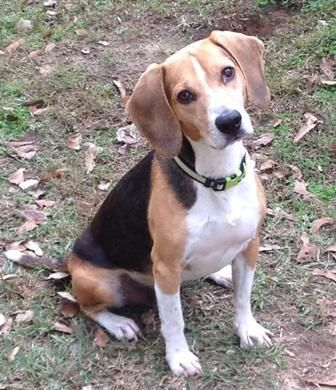 Adopt Bagel On Adoptable Beagle Beagle Dog Beagle Rescue