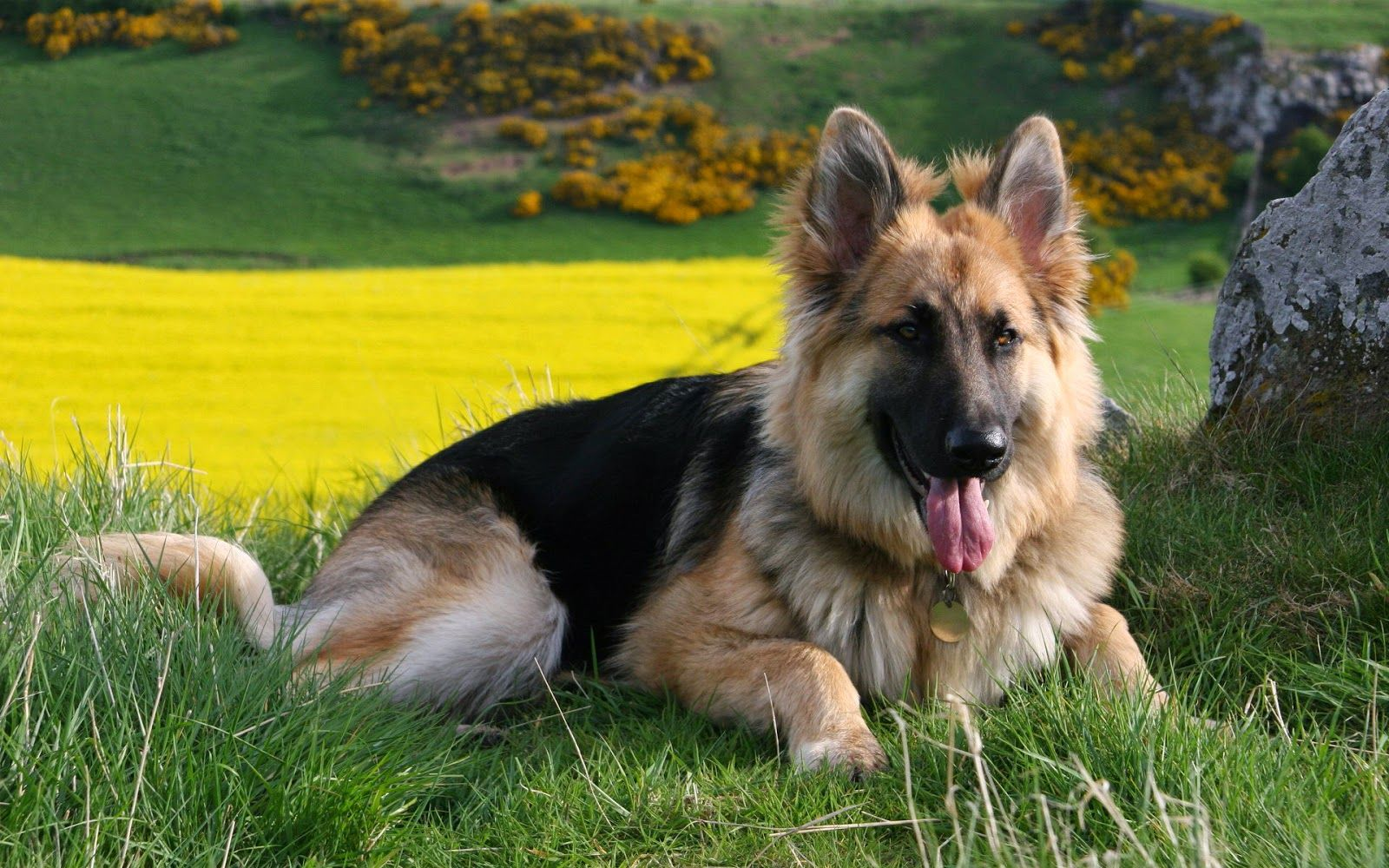 German Shepherd German Shepherd Dogs Shepherd Dog German