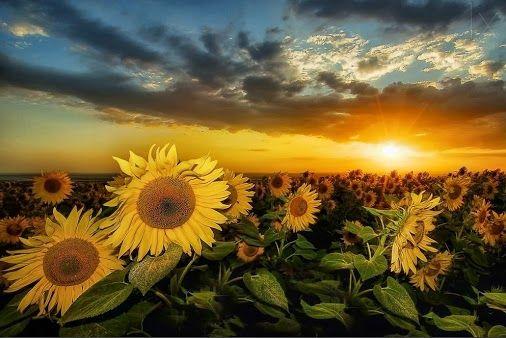 girasoles despertándose a la salida del sol