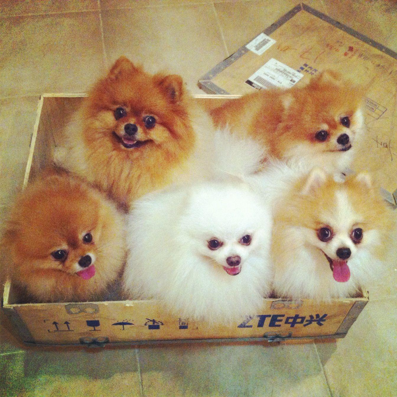 Ready To Go Dogs Pets Pomeranians Puppies Facebook Com Sodoggonefunny Pomeranian Puppy Dogs Cute Animals