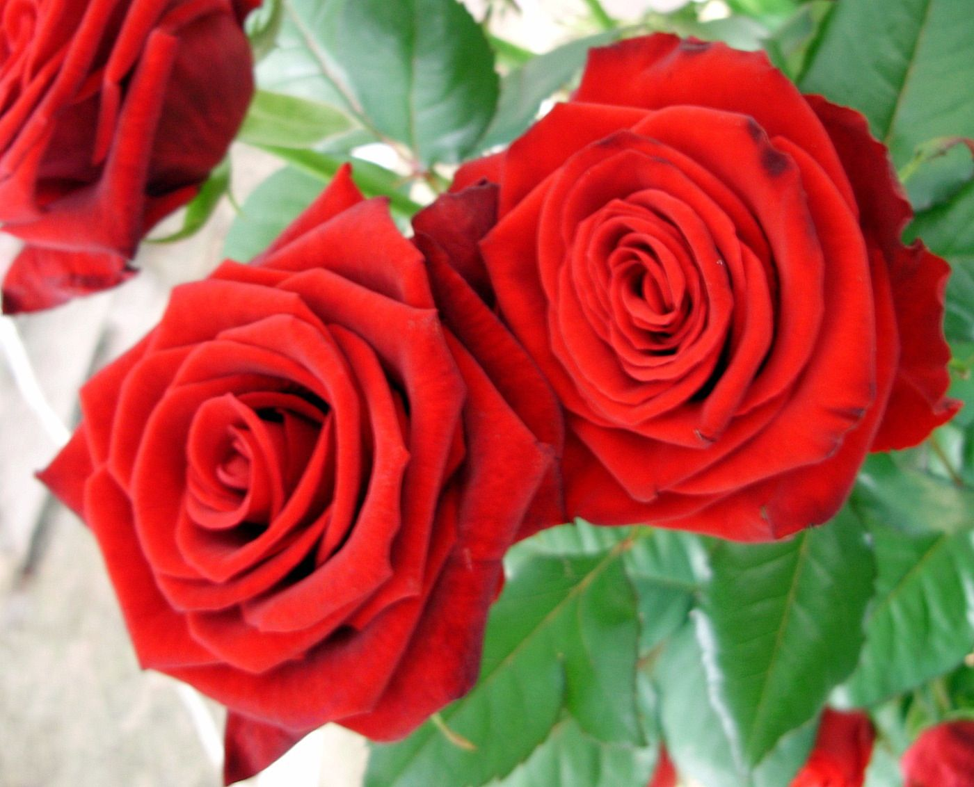 I love flowers Red rose pictures, Red roses, Flowers