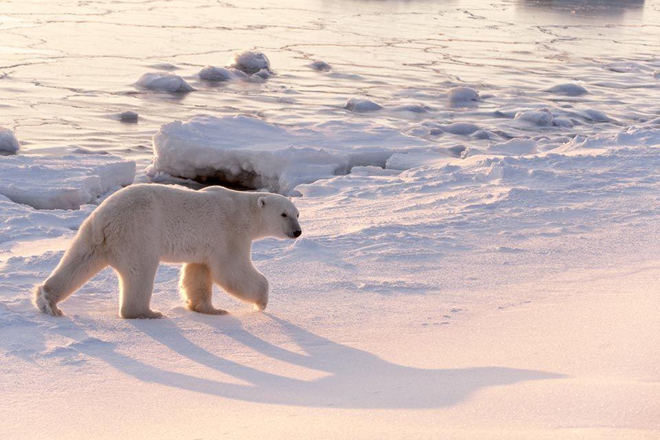 Polar Bear (Ursus maritimus) in its natural environment Wapusk National Park - Manitoba - Canada www.daisygilardini.com