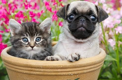 Cute Pug Puppy Kitten With Images Puppies And Kitties Cute