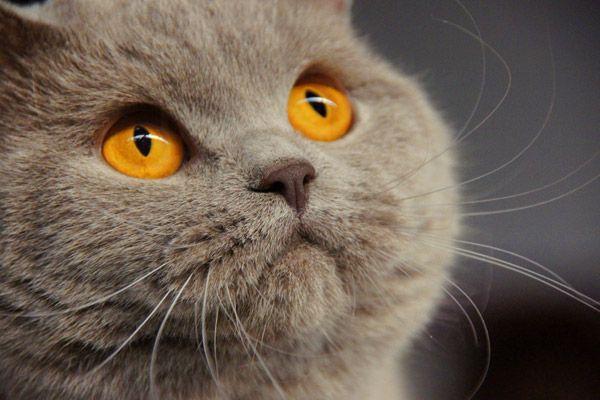 Britse Korthaar Kittens Lilac Google Zoeken Koshki Kot Britancy