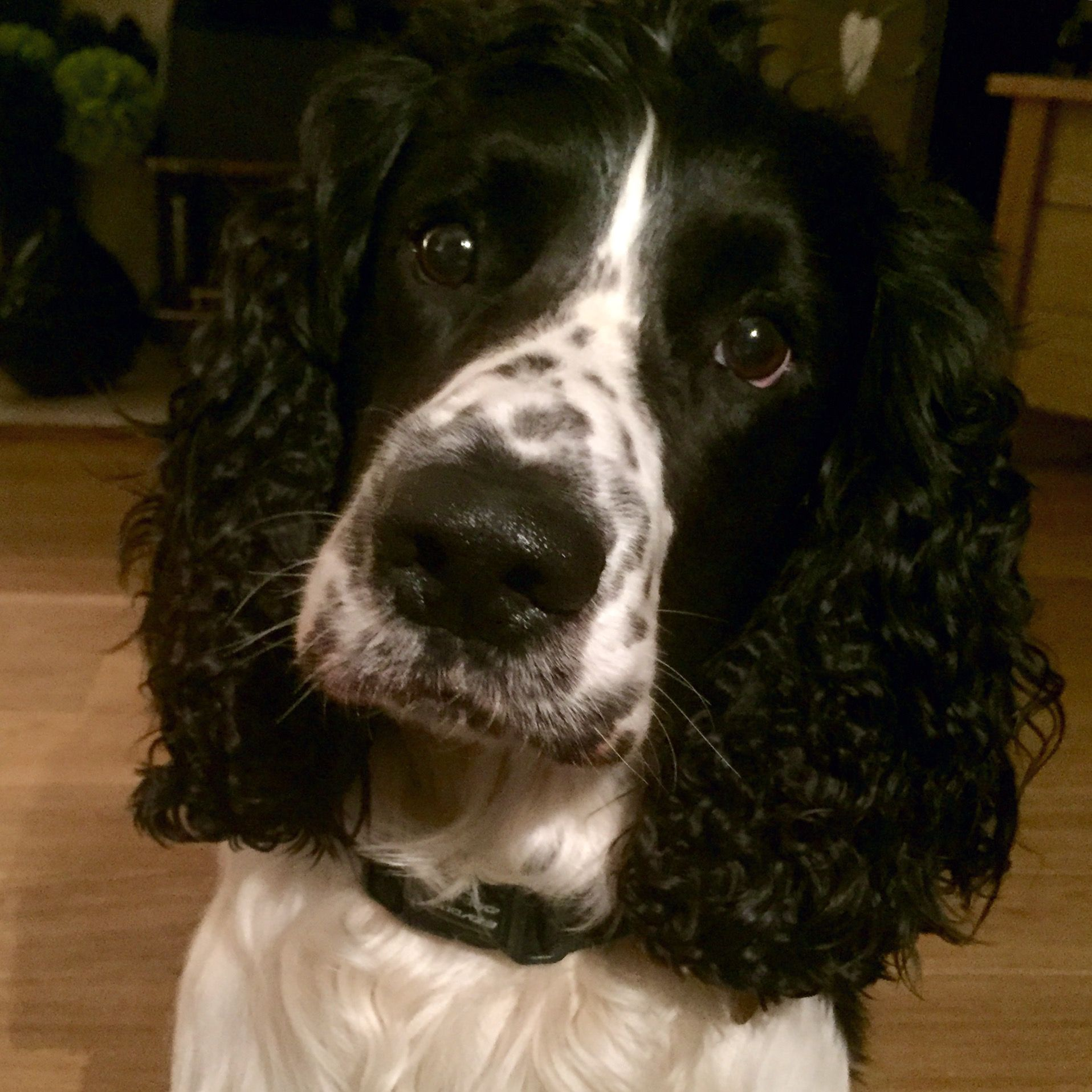 Pin By Anna Mas On Beautiful Springers Springer Spaniel Puppies English Springer Spaniel Springer Spaniel