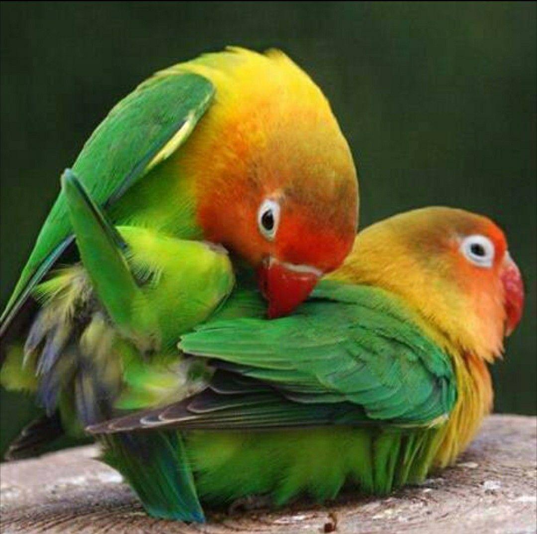 Mating season | Wonderful Pets | Birds, Colorful birds
