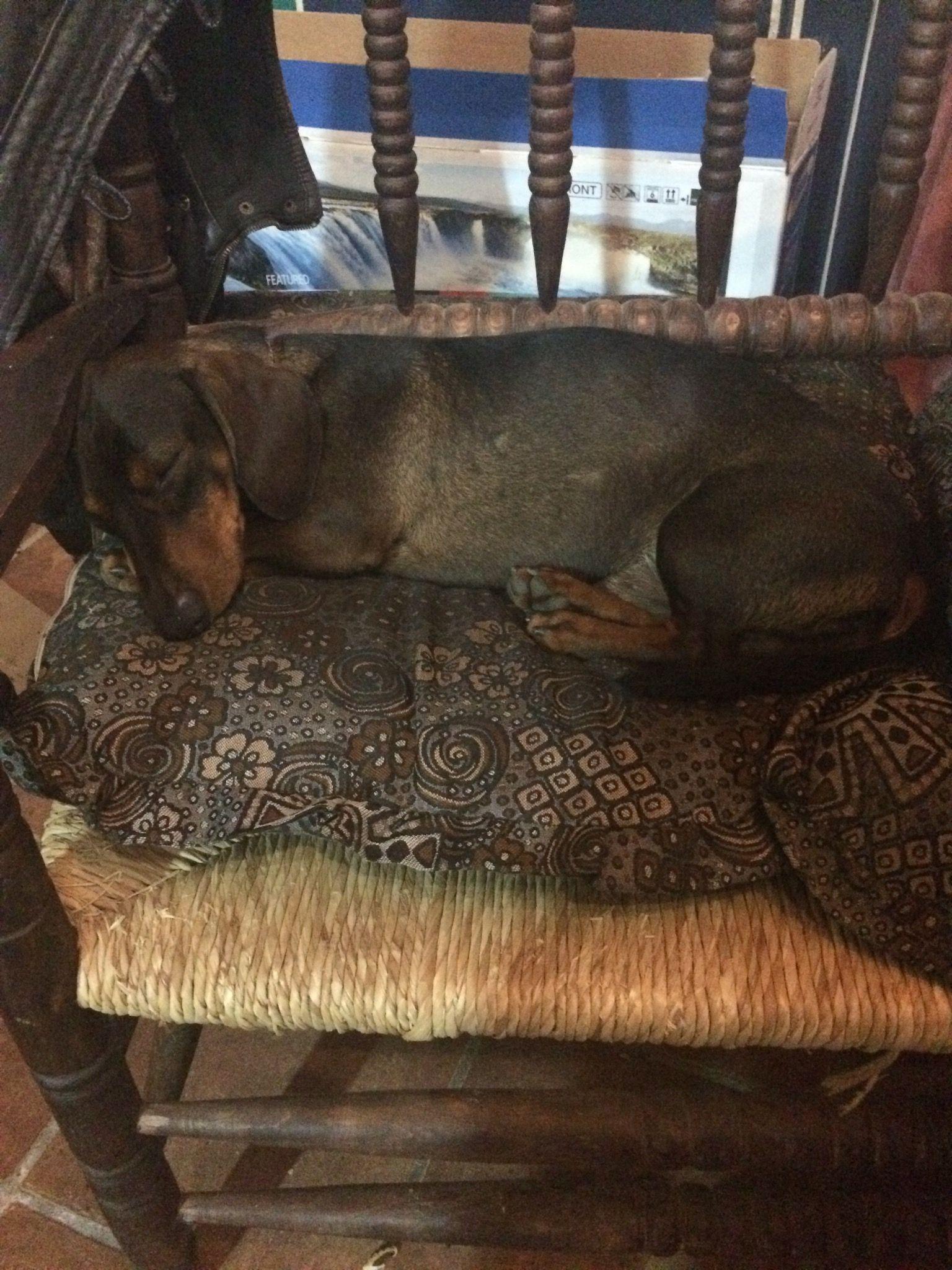 #Teo #teckel #dachshund