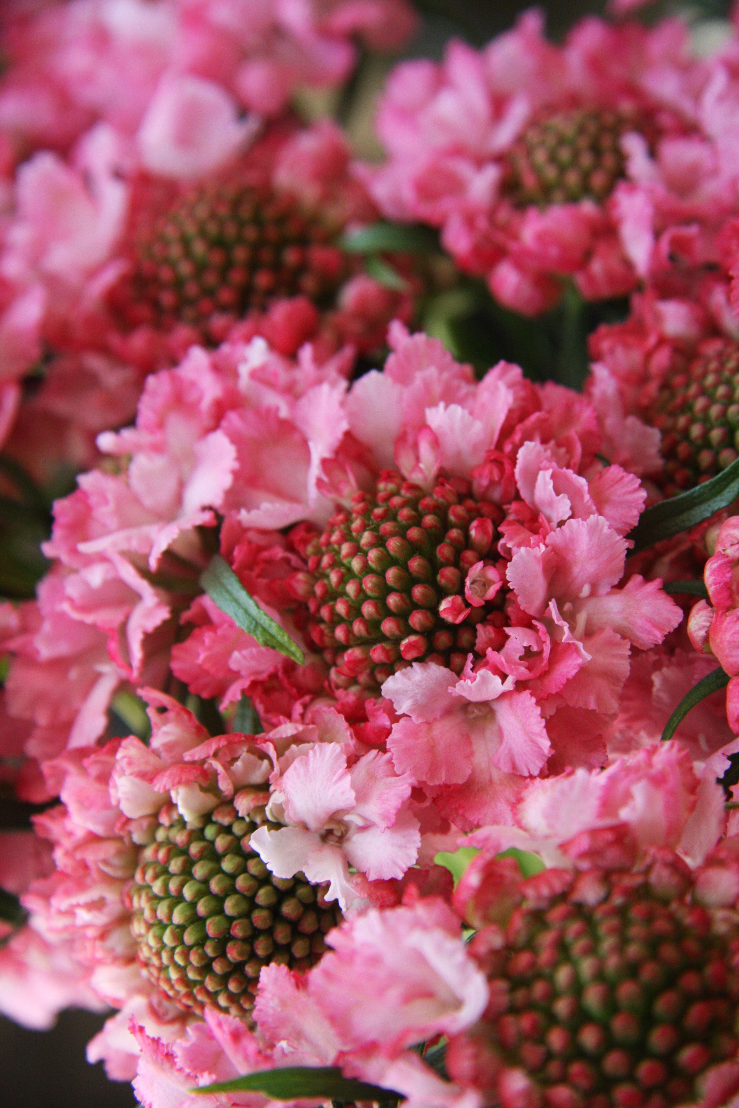 Scabiosa Peach Bright Wedding Pinterest Peach Flowers And Flower