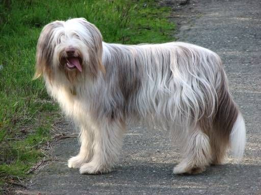 Bearded Collie Bearded Collie Bearded Collie Puppies Collie