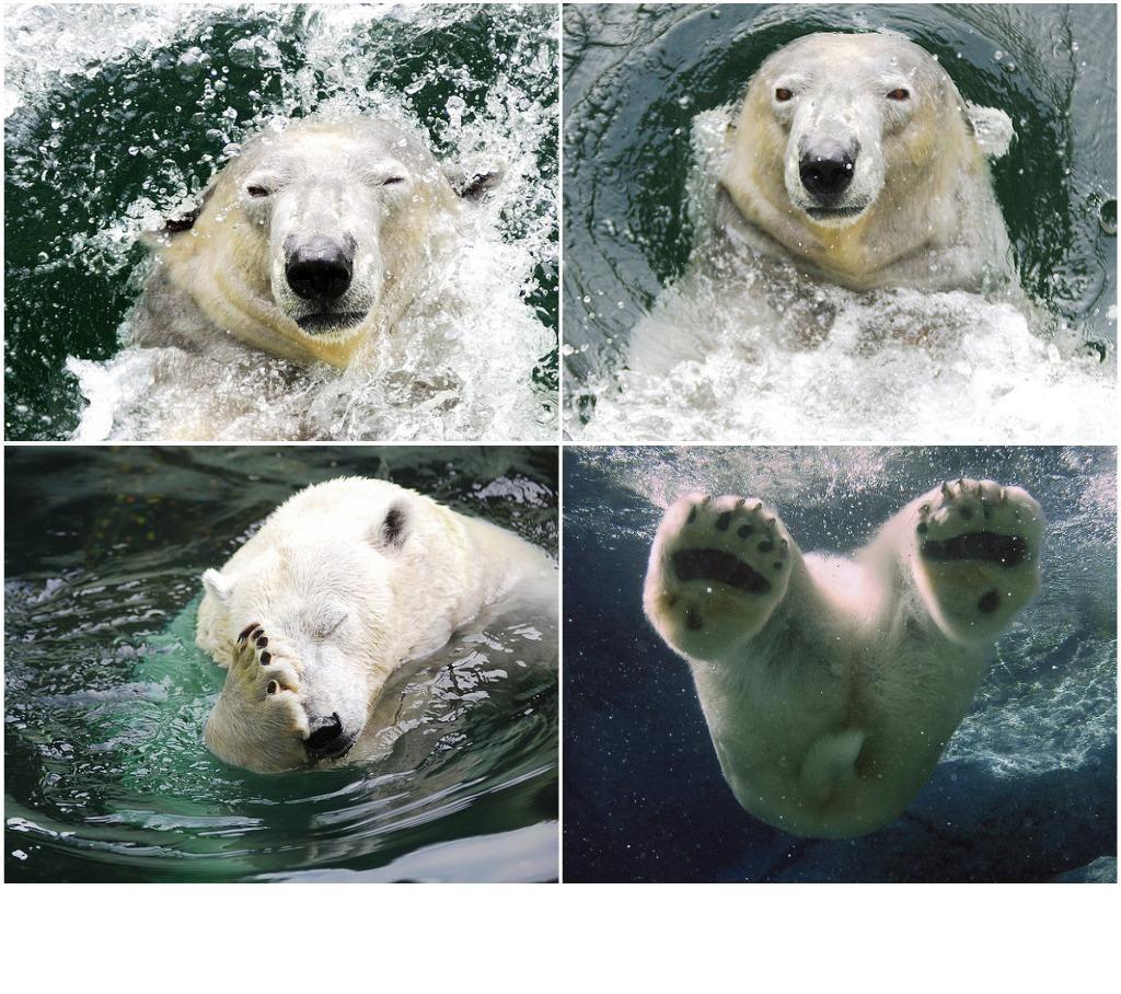 cría de oso polar