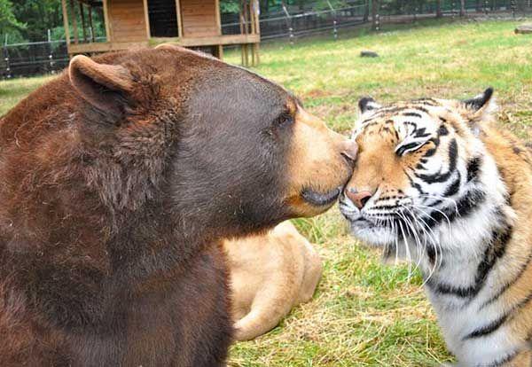 leao-tigre-urso-7