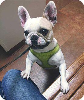 Livonia Mi French Bulldog Mix Meet Darla Bri A Dog For Adoption Http Www Adoptapet Com Pet 17609688 Livonia Michiga Pets Bulldog Rescue Kitten Adoption