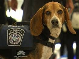 Beagles Go From Unwanted Pets To Border Protectors Photo Nbc