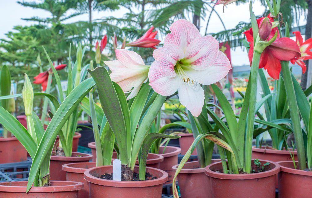 Good Housekeeping Hearst Growing Plants Indoors Amaryllis Bulbs Garden Bulbs