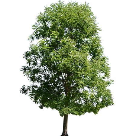 A Cutout Maple Tree That Has Grown Tall And Is At It S