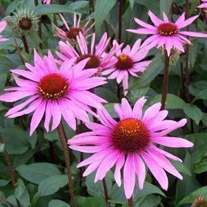 Echinacea Merlot Buy Coneflower Perennials Online Butterfly Garden Plants Flower Garden Pictures Echinacea