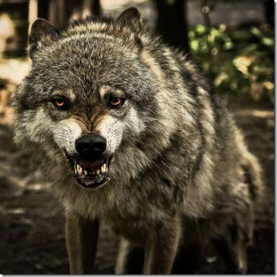 fotos animais sorriso lobo