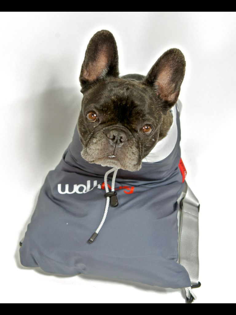 Jacky, the most adorable French Bulldog in a 'Walksac'❤️❤️