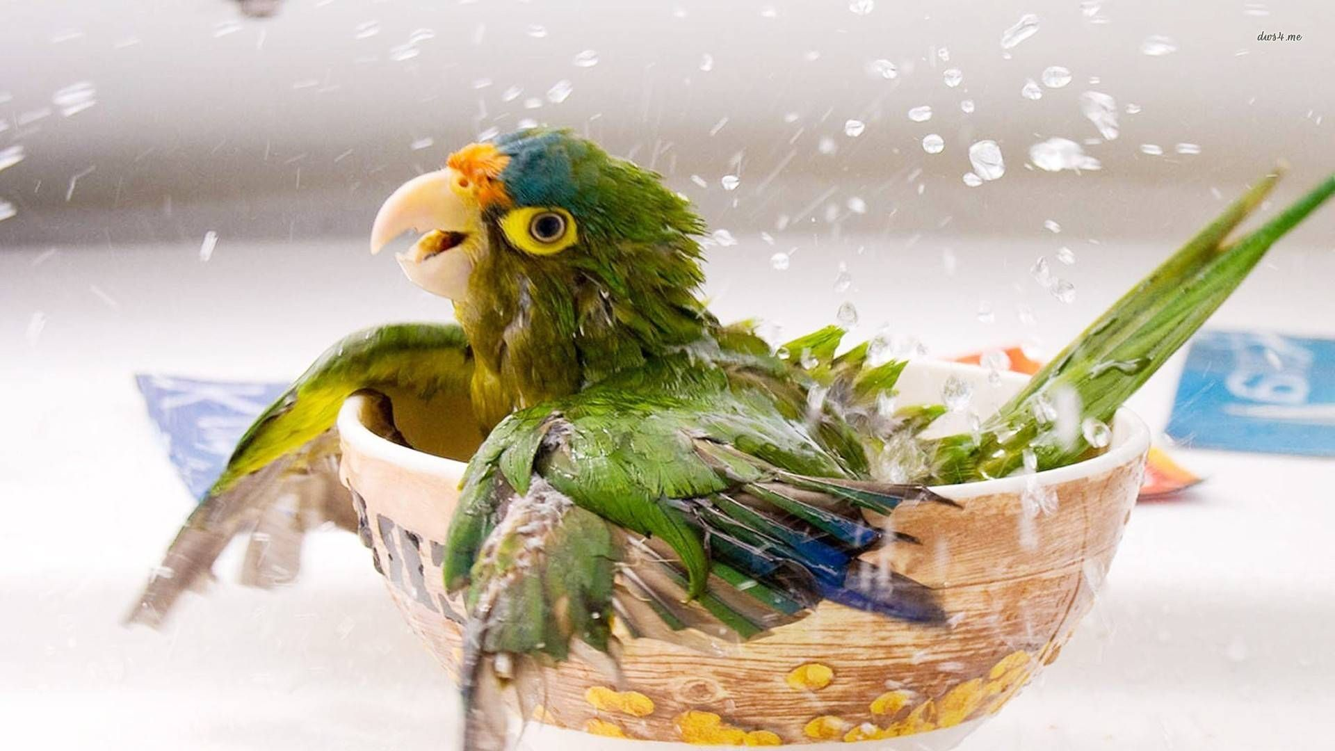 Baby Parrot Cute Wallpaper Beautiful Bird Wallpaper Parrot