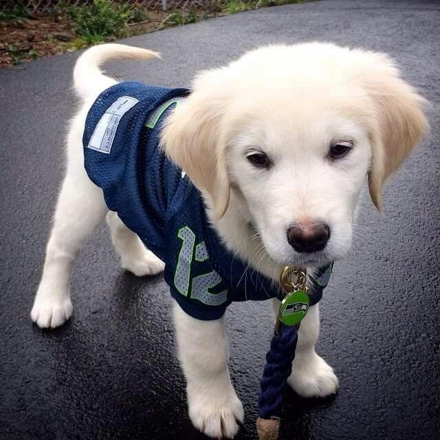 Seahawks Puppy Puppies Dogs Golden Retriever Puppy