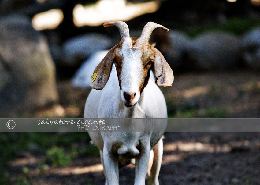 A goat at Abma's Farm's Petting Zoo in Wyckoff, NJ. Zoo