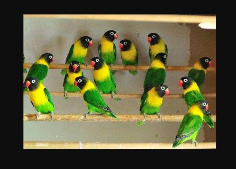 Unduh 930+  Gambar Burung Lovebird Semi Dakocan HD Terbaru