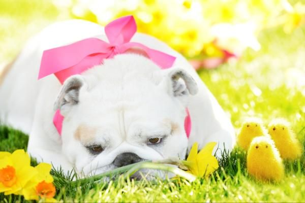 Easter Bulldog Hah That Is So Cute For A Easter Picture English