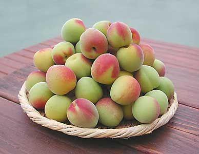 Japanese Flowering Apricot Prunus Mume Scientific Name Prunus