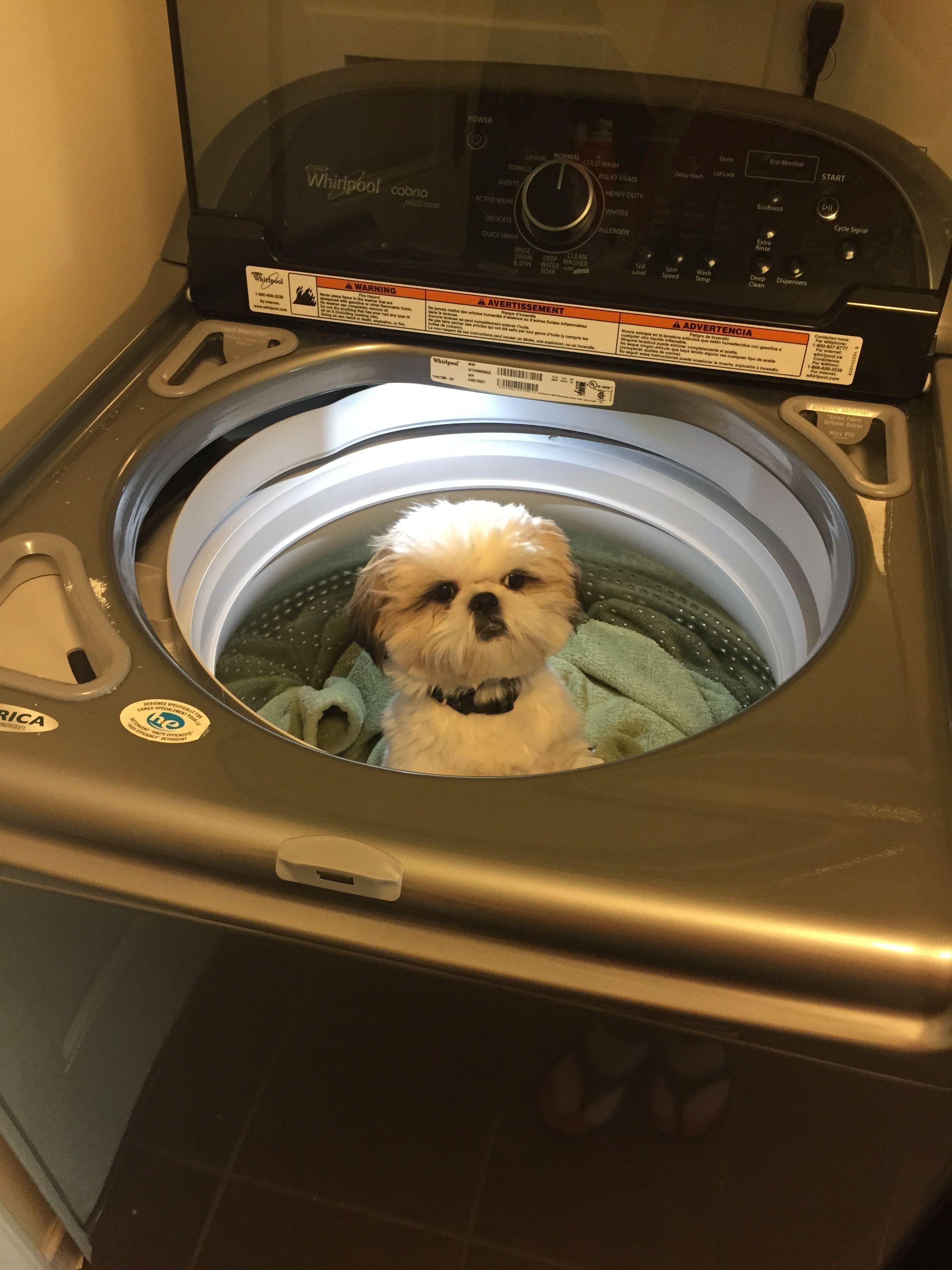 Dirty Shih Tzu Hehe Shihtzu Shih Tzu Dog Shih Tzu Shih Tzu Puppy