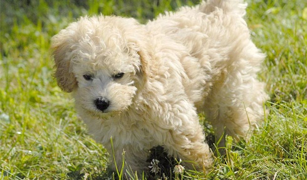 11 Dog Breeds You Didn't Know Existed in 2020 Schnoodle