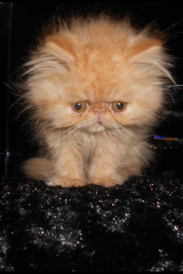 Baby Persian Cat Cute Cats Beautiful Cats Pretty Cats