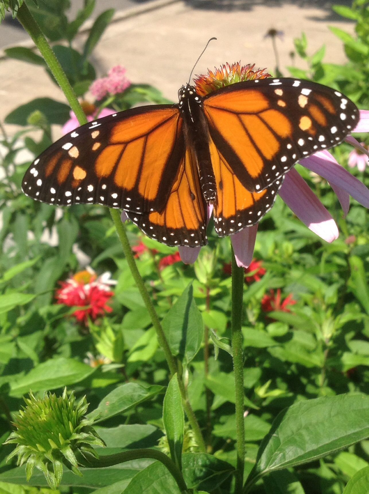 A monarch on a cone flower in the yard.