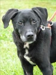 Mordimer Is A Precious Senior Labrador Retriever Dog In Duluth Mn Available At Animal Allies Duluth Mordime Labrador Retriever Animals Labrador Retriever Dog