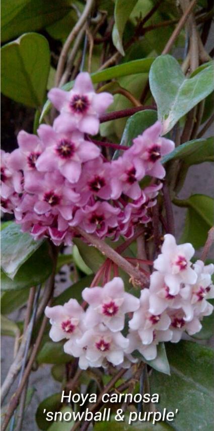 Hoya Carnosa Snowball Purple