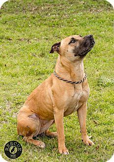 Houston Tx Black Mouth Cur Boxer Mix Meet Karma A Dog For Adoption Http Www Adoptapet Com Pet 12502460 Houston T Black Mouth Cur Dog Adoption Boxer Mix