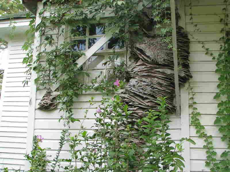 Watch Out For Wasps Massive Yellow Jacket Nests Spotted In Alabama Get Rid Of Wasps House Siding Wasp