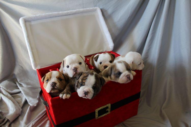 Las Vegas English Bulldogs English bulldog, Bulldog