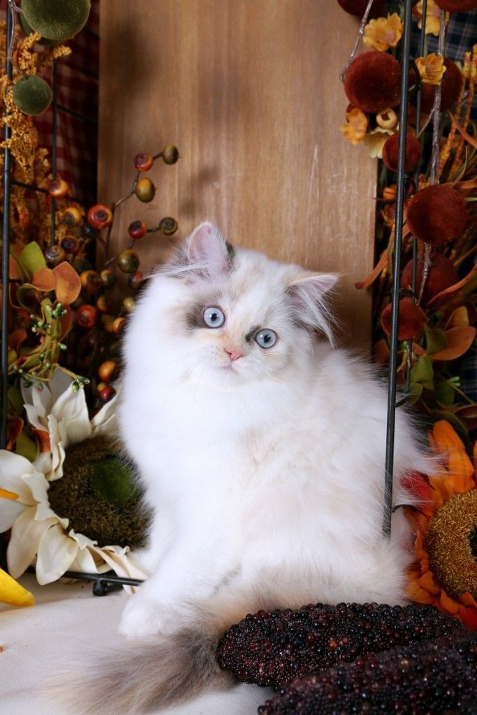 Persian Cat For Sale Dilute Calico Himalayan Kitten One