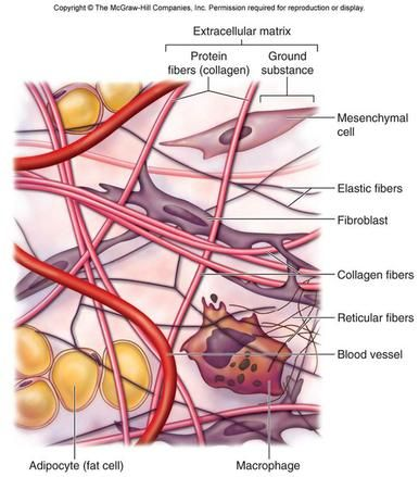Areolar Tissue Diagram Google Search Anatomy Pinterest Loose